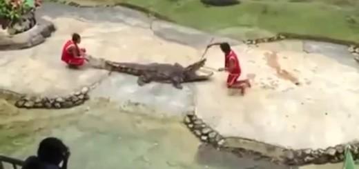 Crocodilo morde cabeça do tratador durante espectáculo