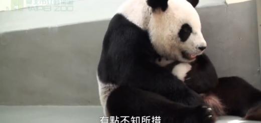 A reacção de uma mãe panda ao receber de volta a sua cria