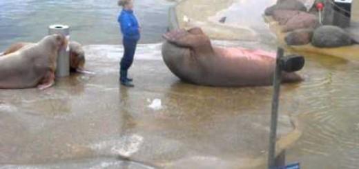 Leão Marinho com 300 kg faz abdominais