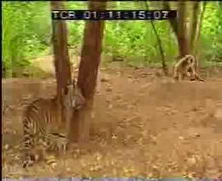 Macaco corajoso provoca tigres
