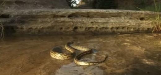 Cobra Píton descobre que a união faz a força
