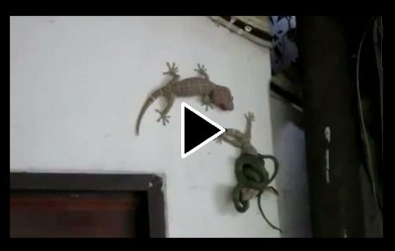 Lagarto corajoso ataca cobra e salva amiga