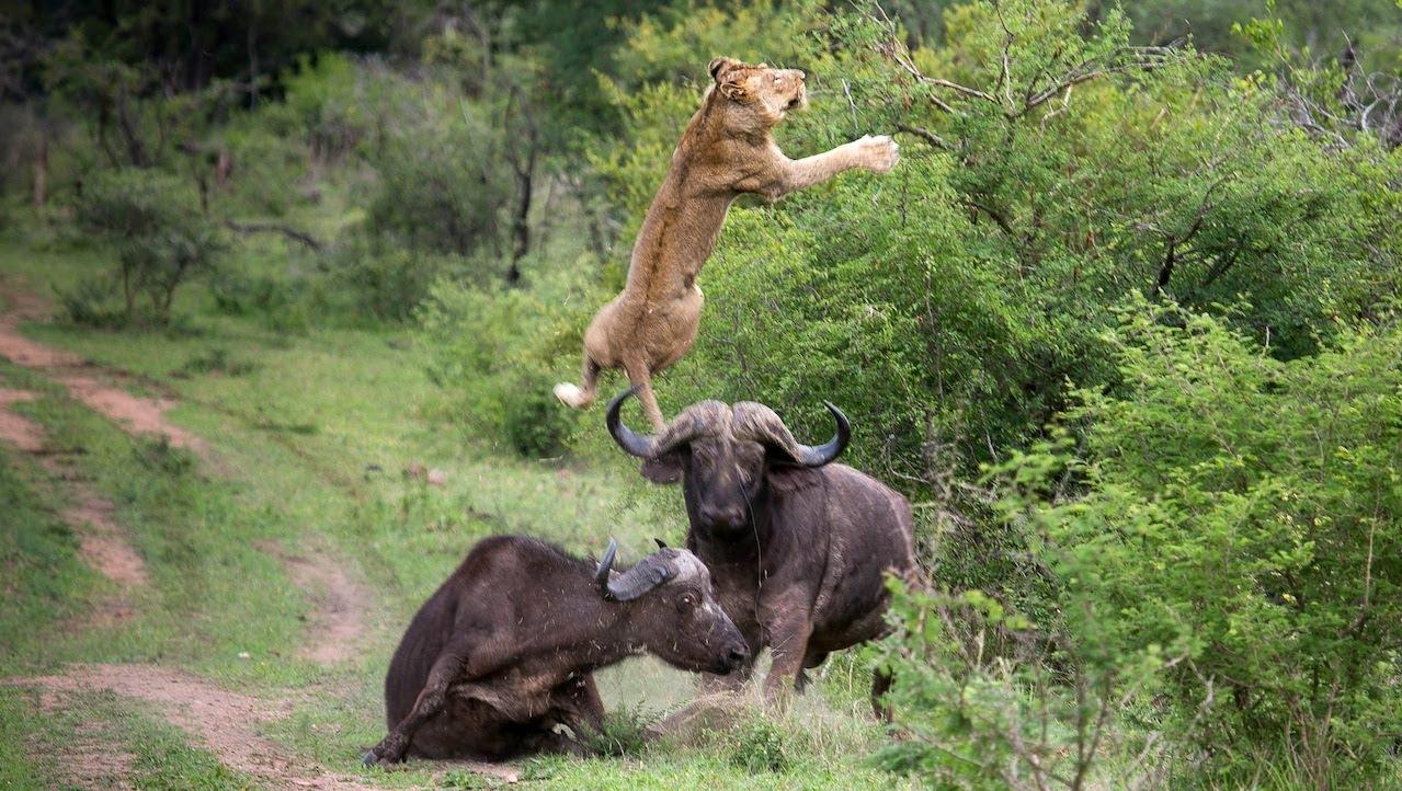 Búfalo defende companheiro e faz leão voar