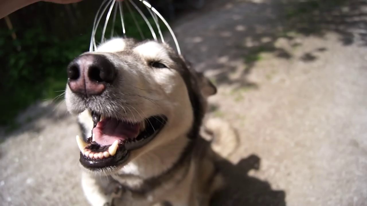 Cão recebe massagem na cabeça e mostra uma satisfação indescritível