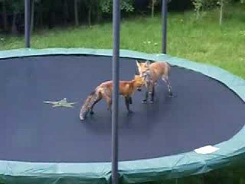 Duas raposas e um trampolim