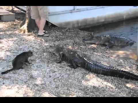 Gato mostra a crocodilo quem manda