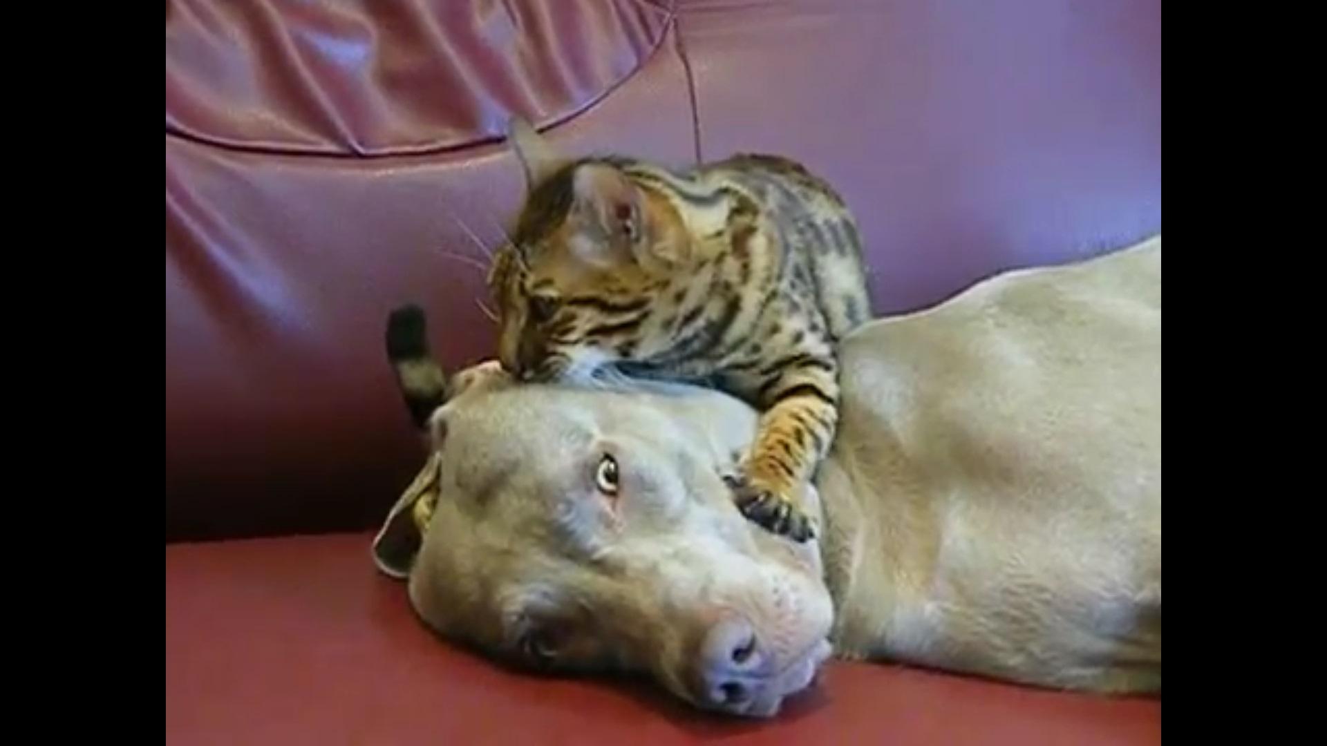 Gato põe cão em estado zen com massagem