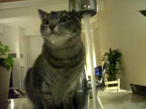 Gato lava cabeça