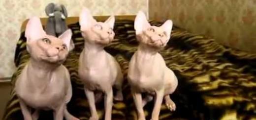 Gatos sincronizados