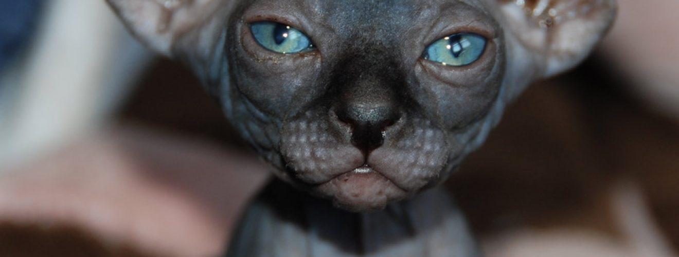 raças de gatos mais caros do mundo - Elf