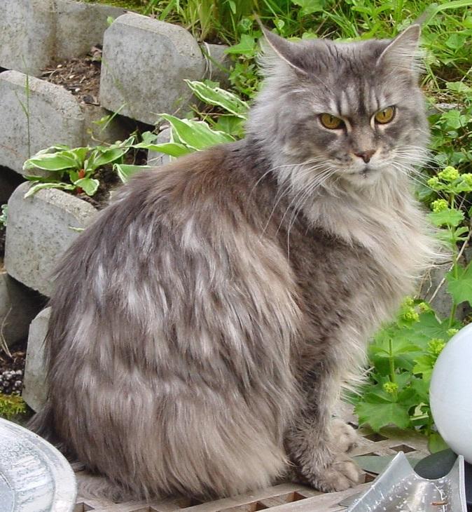 raças de gatos mais caros do mundo - Maine Coon