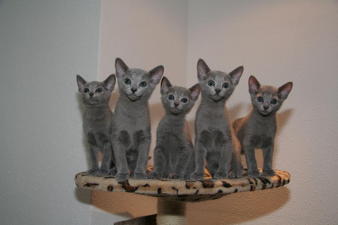 raças de gatos mais caros do mundo - Russian Blue
