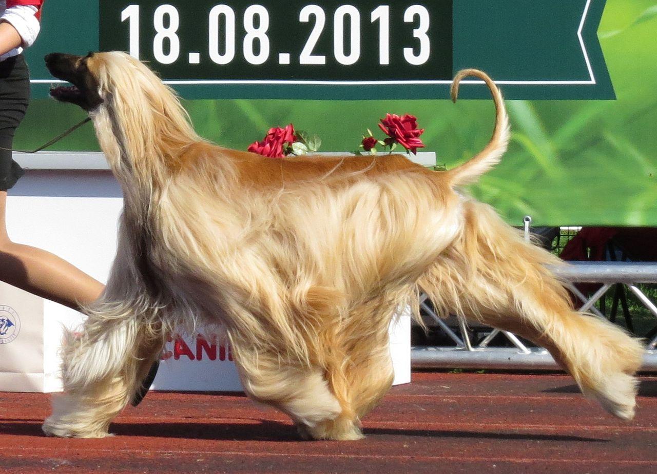 Galgo Afegão - cães mais caros do mundo