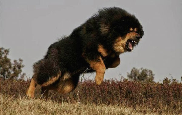 Mastim Tibetano - raças de cães mais caros do mundo
