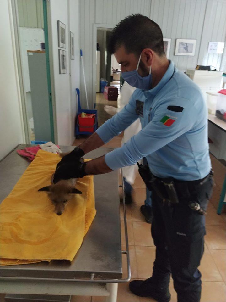 Raposa resgatada na via pública pela PSP em Santo Tirso