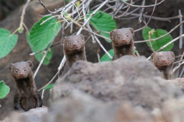 Vida selvagem em fotos hilariantes - dwarf mangooses