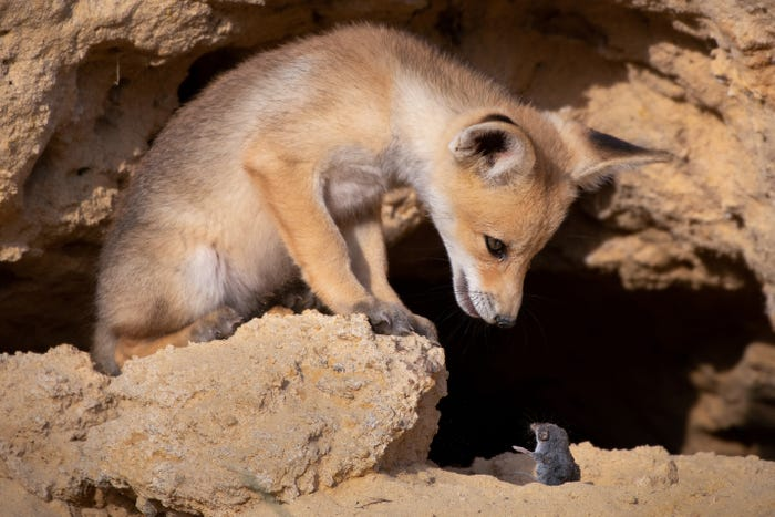 Vida selvagem em fotos hilariantes - raposa