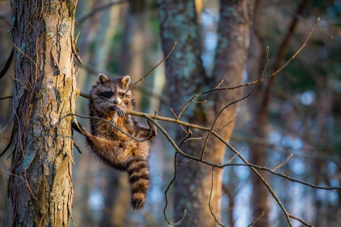 Vida selvagem em fotos hilariantes - guaxinim só a relaxar
