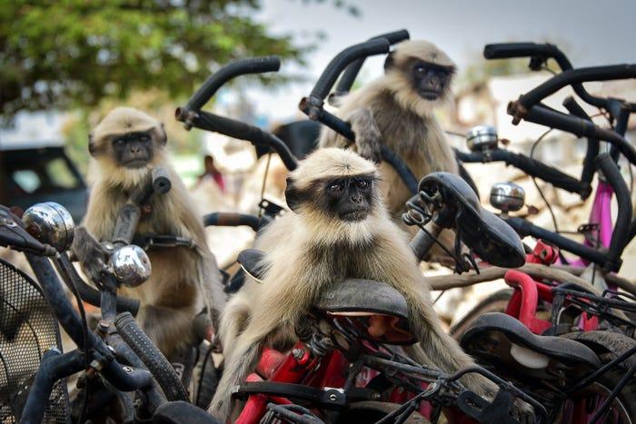 Vida selvagem em fotos hilariantes - macacos motoqueiros