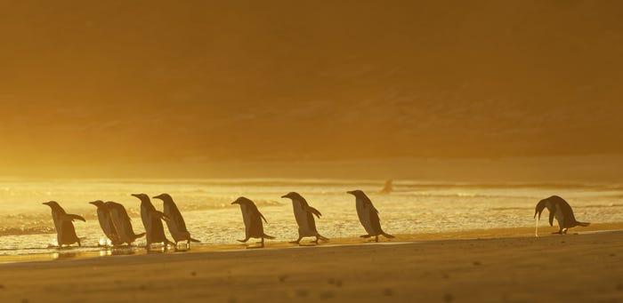 Vida selvagem em fotos hilariantes - pinguim a gregar