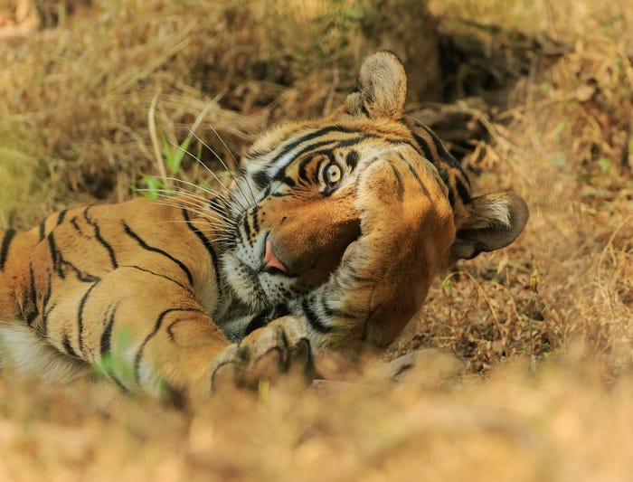 Vida selvagem em fotos hilariantes - tigre