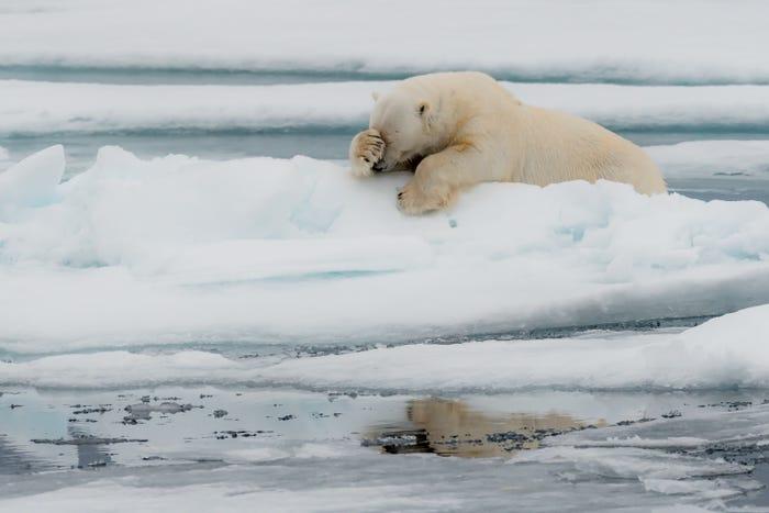 Vida selvagem em fotos hilariantes - urso polar
