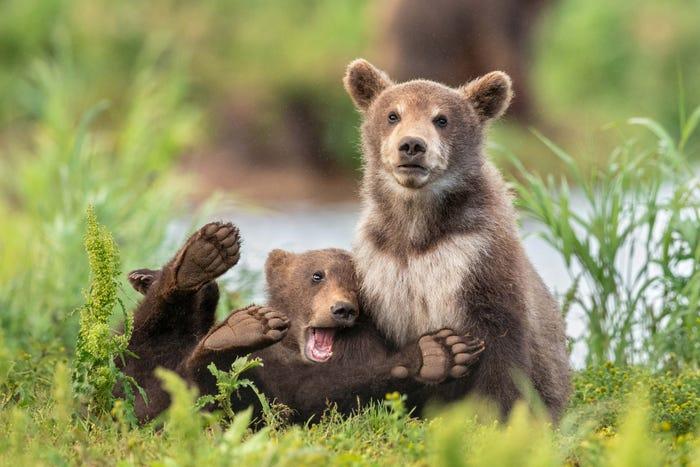 Vida selvagem em fotos hilariantes - ursos a brincar